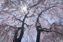傘桜の下で